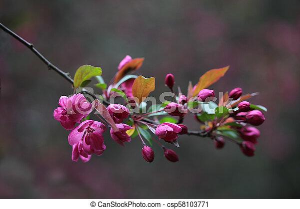 さくらんぼ, 咲く - csp58103771