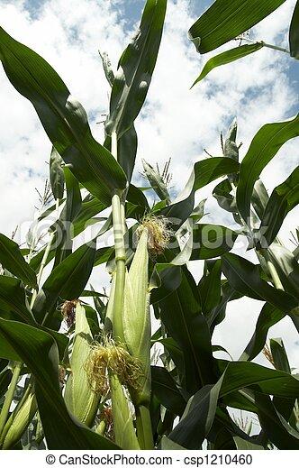 トウモロコシの 茎 - csp1210460