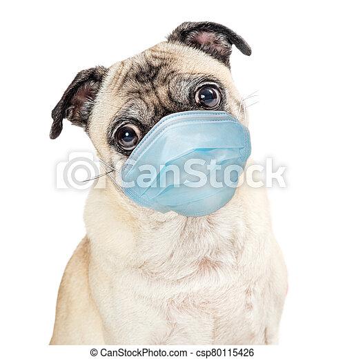 保護である, パグ, 外科, 顔, 犬, 身に着けているマスク - csp80115426