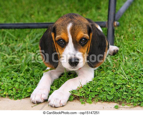 ビーグル 犬