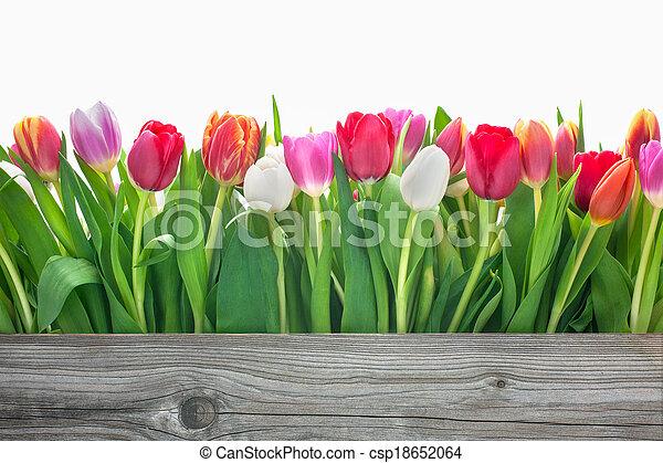 春の花, チューリップ - csp18652064