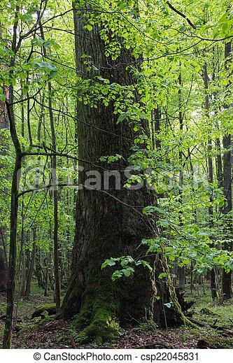 木, 巨人, オーク, hornbeams, grows - csp22045831