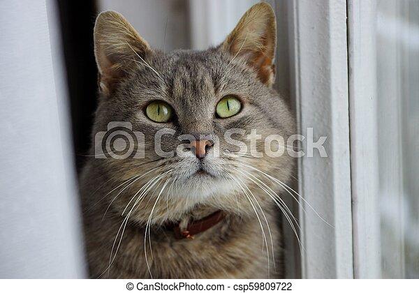 灰色, カーテン, 大きい, 座っている猫, 窓 - csp59809722