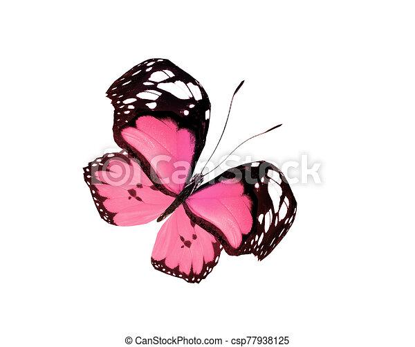 白, 隔離された, 蝶色, 背景 - csp77938125