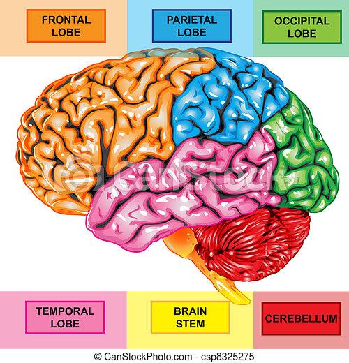 脳, 側面, 人間, 光景 - csp8325275