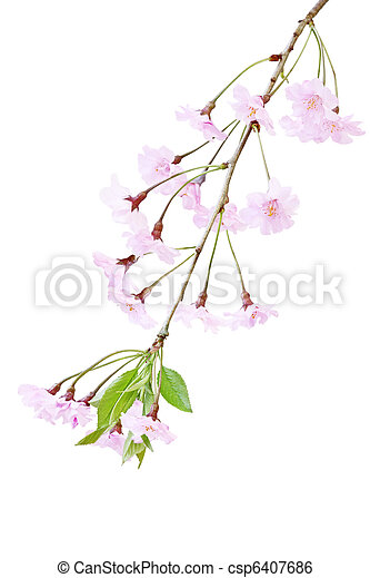 花, さくらんぼ - csp6407686