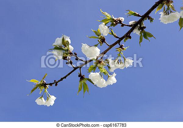 花, さくらんぼ - csp6167783