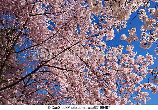 花, さくらんぼ - csp63199487