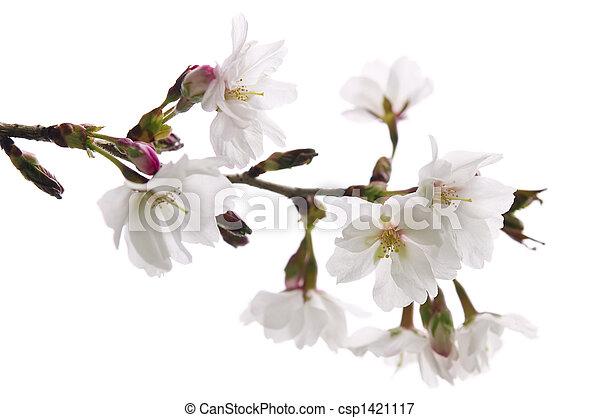 花, さくらんぼ, 東洋人 - csp1421117