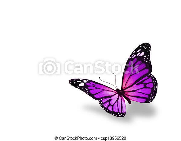 蝶, 白, 隔離された, 背景, すみれ - csp13956520