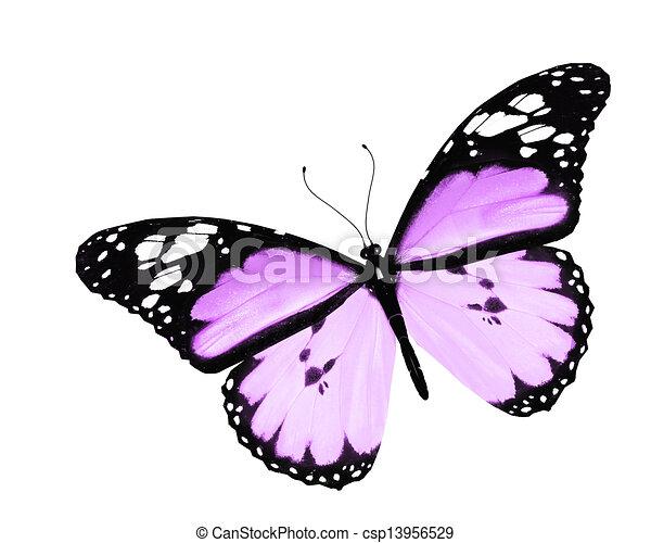 蝶, 白, 隔離された, 背景, すみれ - csp13956529