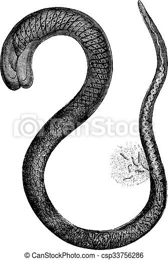 150, fig., 型, 拡大される, 時, 成人, 2., 女性, trichinella, engraving. - csp33756286