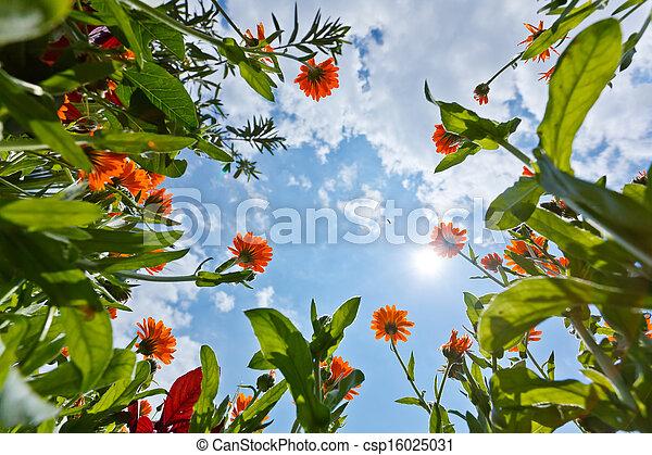 calendula, 花, 空 - csp16025031